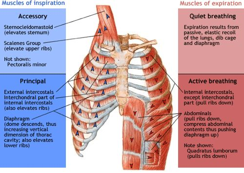 The muscles mechanics of breath support